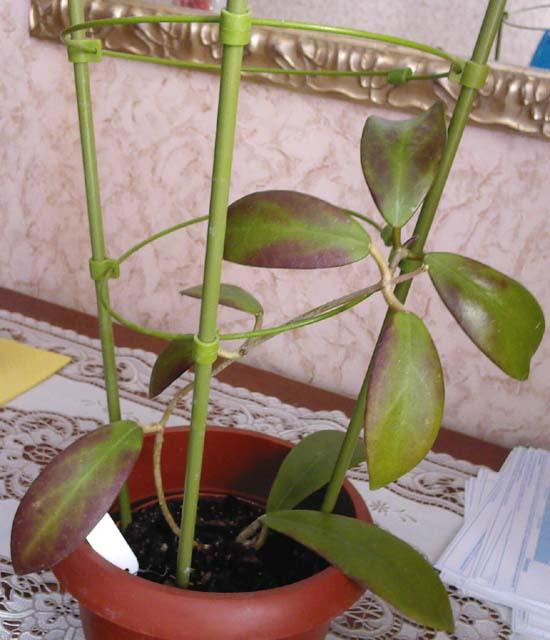 Хойя фото и виды размножение и уход за растением в