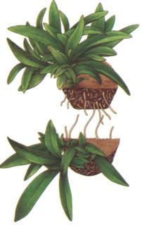 Орхидей размножение в том числе и