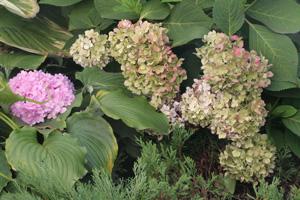 Почему зеленеют цветы у гортензии