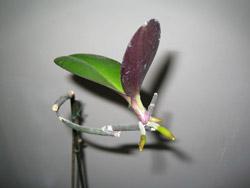 Детки фаленопсис уход в домашних условиях - Орхидея уход в домашних условиях от А до Я, ответы на