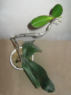 Размножение орхидей в домашних условиях с фото