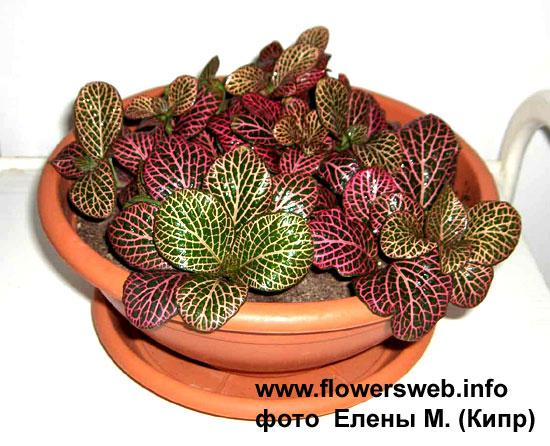 Плектрантус  комнатные растения и цветы виды сорта